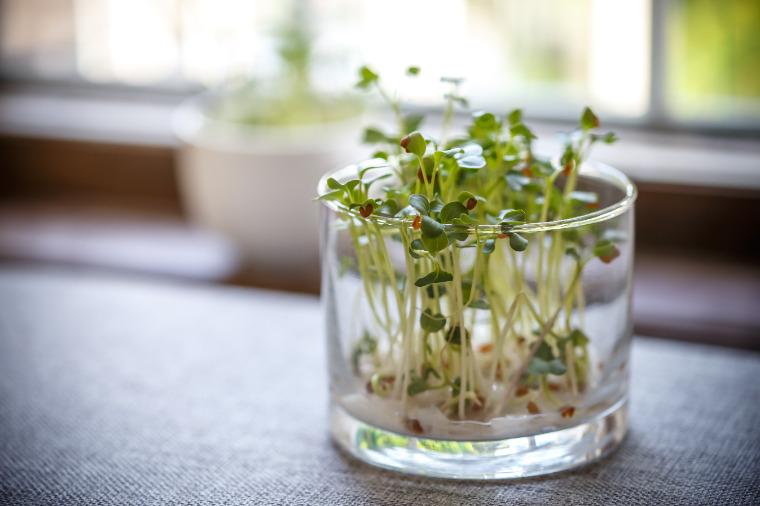 radish-sprouts